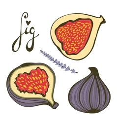 Hand drawn figs and lavender vector image