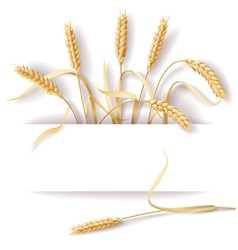 Wheat ears banner vector