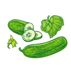 Fresh green cucumbers - whole half slices leaf vector image vector image