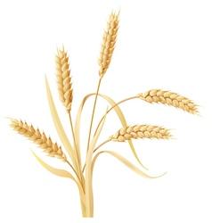 Wheat ears tuft vector