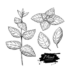 Mint drawing set isolated mint plant and vector