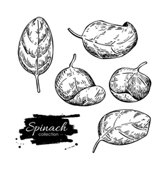 Spinach leaves hand drawn set Isolated vector image