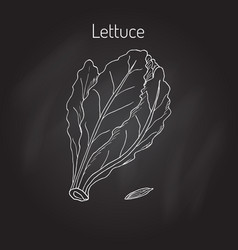 salad lettuce hand drawn vegetable vector image vector image