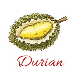 Exotic asian durian fruit sketch for food design vector