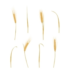 Wheat ears isolated on white vector image