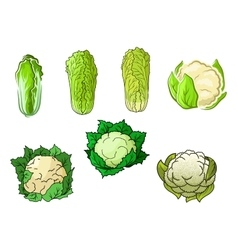 Cauliflower and chinese cabbage vegetables vector