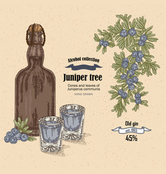 Juniper tree and old bottle gin vector