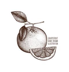 vintage grapefruit vector image