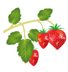 Berry strawberries vector