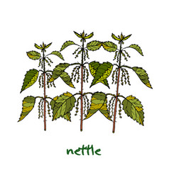 Nettle medicinal plant vector