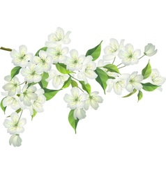 Blossoming branch of apple tree vector image vector image