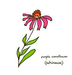 echinacea purple coneflower vector image vector image