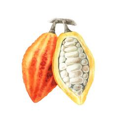 Watercolor of cocoa branch vector