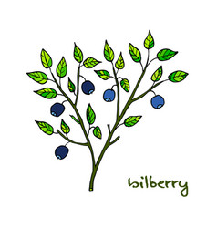 Bilberry ripe hand drawn vector