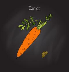 Orange carrots vector