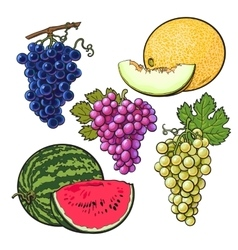Collection of red green purple grapes melon and vector image