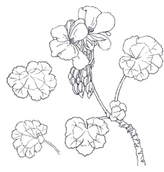 Geranium flowers buds leaves vector image vector image