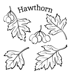 Hawthorn leaves and fruits pictograms vector