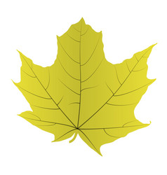 maple leaf isolated on white background vector image