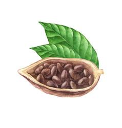 Ripe watercolor cocoa beans vector