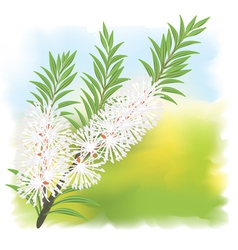 melaleuca tea tree vector image