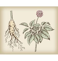 medicinal plant root vector image