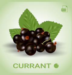Blackcurrant ripe berries and green leaves vector