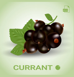 Blackcurrant ripe berries with green leaves vector