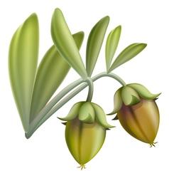 jojoba fruit vector image
