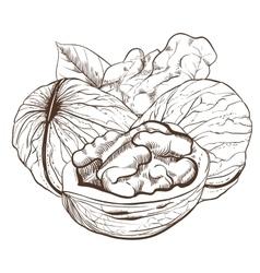 Walnut isolated on white background vector
