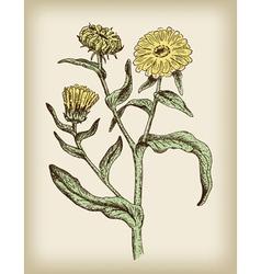 medicinal plant vintage vector image