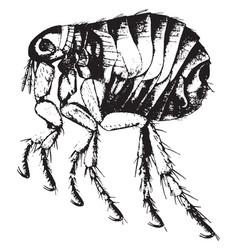 Adult human flea vintage vector