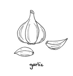 Garlic hand drawn vector