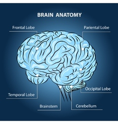 Brain anatomy vector