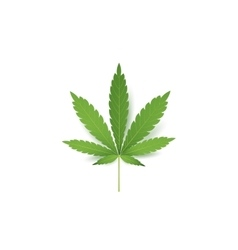 Realistic Marijuana leaf icon Isolated on white vector image