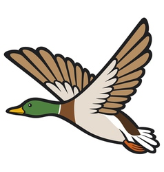 mallard duck flying vector image