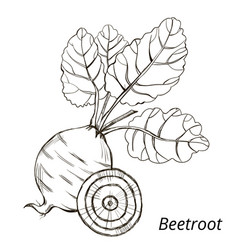 beetroot with leaves vector image
