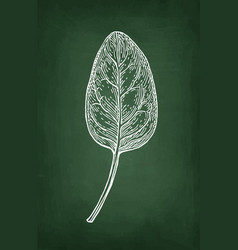 Chalk sketch of spinach vector