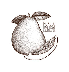 Ink hand drawn pomelo sketch vector