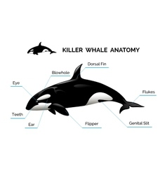 Killer whale anatomy vector