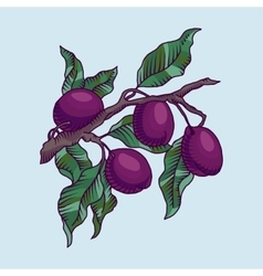 Plum branch with fruit vector
