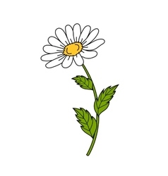 Beautiful daisy on white background vector image
