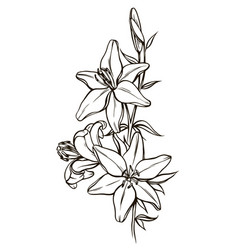 Lily flowers black and white vector