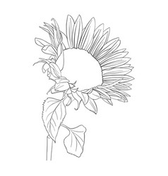 sunflower plant vector image