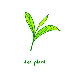 Green tea plant hand drawn vector