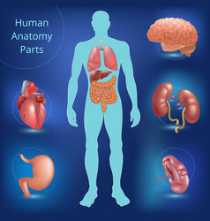 Set of human anatomy parts vector