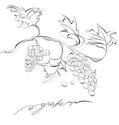 sketch of grapes monochrome vector image