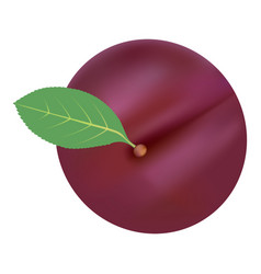 single fresh ripe plum isolated on a white vector image
