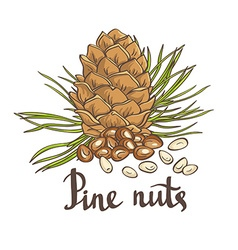 Pine nuts and pine cones hand drawn isolated vector