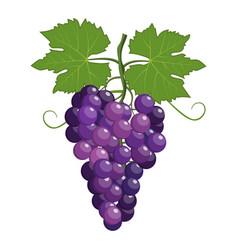 Fresh bunch of grapes purple vector